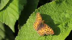 Silver washed fritillary butterfly Stock Footage