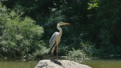 Heron standing on a large boulder Stock Footage