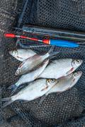 Freshwater fish just taken from the water. Fishing rod with float and fishing - stock photo