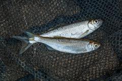 Several ablet or bleak fish on black fishing net. Stock Photos