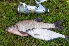 Freshwater fish just taken from the water. Catching freshwater fish and fishi Stock Photos