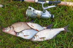 Freshwater fish just taken from the water. Catching freshwater fish and fishi - stock photo