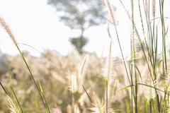 blurry defocused image of grass flower in the paddy field - stock photo