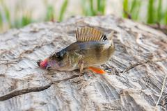 Perch fish just taken from the water. - stock photo