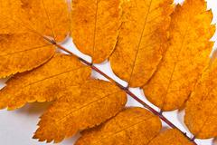 Autumn rowan tree leaf on white as background. - stock photo