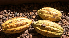 Ripe yellow cacao pods on dried beans in ecuador Stock Footage