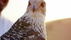 Proud Arab wearing dishdasha with his trained falcon Stock Footage