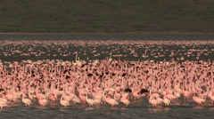 Huge flock of Lesser Flamingo in Lake Bogoria Kenya Stock Footage