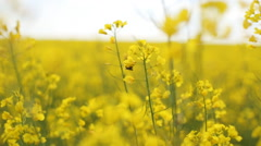 Field of yellow flowers. nature Stock Footage