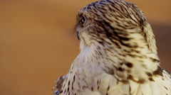 Head of a Saker falcon in Middle Eastern desert Stock Footage
