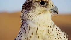 Saker falcon in close up outdoors in Arabian desert location Stock Footage
