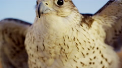 Bird of prey in close up in Dubai desert Stock Footage