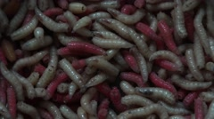 Pink, white  maggots (Acheta Domesticus ), 4k, UHD.Fat insect larvae Stock Footage