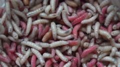 Pink, white  and yellow maggots (Acheta Domesticus ), 4k, UHD.Fat insect larvae, Stock Footage