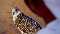 Arabic man with trained bird of prey standing on desert sands - stock footage