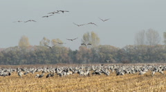 Field with common cranes during autumn migration Stock Footage