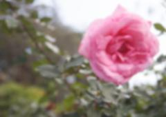 Blurry defocused blooming pink rose in the garden for background Stock Photos