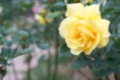 blurry defocused blooming yellow rose in the garden for background - stock photo