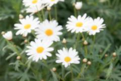 Blurry defocused white daisy flower for background Stock Photos