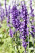 blurry defocused purple flower (Blue salvia) for background - stock photo