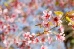 blurry defocused blooming pink flower of Wild Himalayan Cherry for background - stock photo