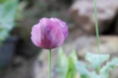 Blurry defocused purple opium flower for background Stock Photos
