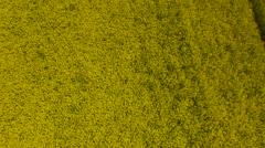 Oilseed Rape Field Against Cloudy Sky - stock footage