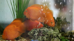 Gold fish. Stock Footage