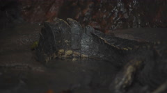 Caiman in the Peruvian rainforest Stock Footage