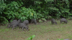 The white-lipped peccary in the Peruvian rainforest Stock Footage