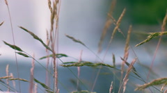 Water fountain on background of grass spike. Close up of yellow grass Stock Footage