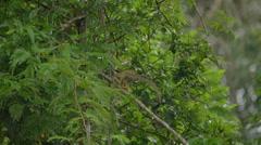 Squirrel monkey, in the Peruvian rainforest Stock Footage