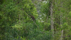 Squirrel monkey in the rainforest Stock Footage