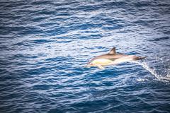Dolphins seen near Whakatane and Tauranga in the Bay of Plenty, North Island, Kuvituskuvat