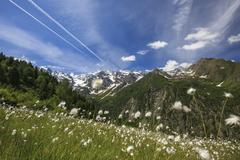 Sunny day on cotton grass surrounded by green meadows, Orobie Alps, Arigna Stock Photos