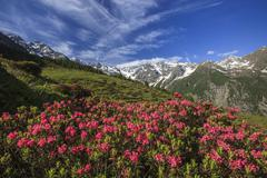 Rhododendrons in bloom surrounded by green meadows, Orobie Alps, Arigna Valley, Stock Photos