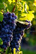 Red Cabernet, vineyard, Chinon, Indre et Loire, Centre, France, Europe - stock photo