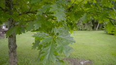 The leaves of the oak tree in the yard Arkistovideo