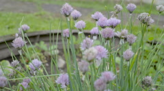 The beautiful purple flowers of the onion - stock footage