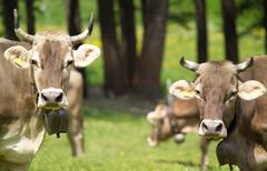 Cows wearing cow bells looking at camera, Swiss Alps, Switzerland - stock photo