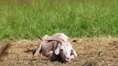 Horny goat lies on the hay Stock Footage