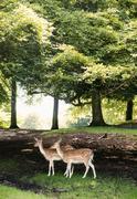 Two deer, Aarhus, Denmark - stock photo