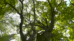 Trunks and branches of the oak tree Stock Footage