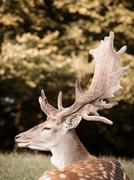 Portrait of deer, side view, Aarhus, Denmark - stock photo