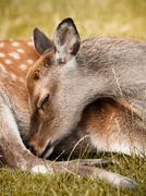 Deer sleeping, close-up, Aarhus, Denmark - stock photo