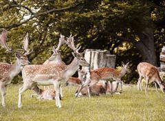 Group of deer, Aarhus, Denmark - stock photo