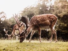 Two deer grazing, Aarhus, Denmark - stock photo