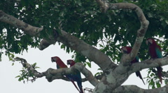 Two macaw sitting in branch Stock Footage