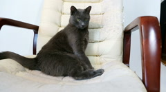 Cat sitting in a scratched chair. Cat Scratching furniture (sharpening claws) Stock Footage