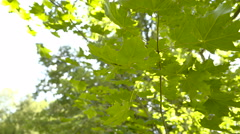 The maple like shape of the oak tree leaves Arkistovideo